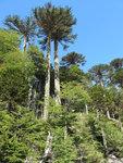 stromy araukárie