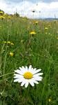 Oravská Magura - flowers