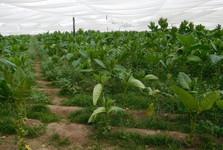 dospělé rostliny tabáku