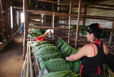 preberanie listov tabaku