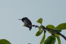 наблюдение за колибри